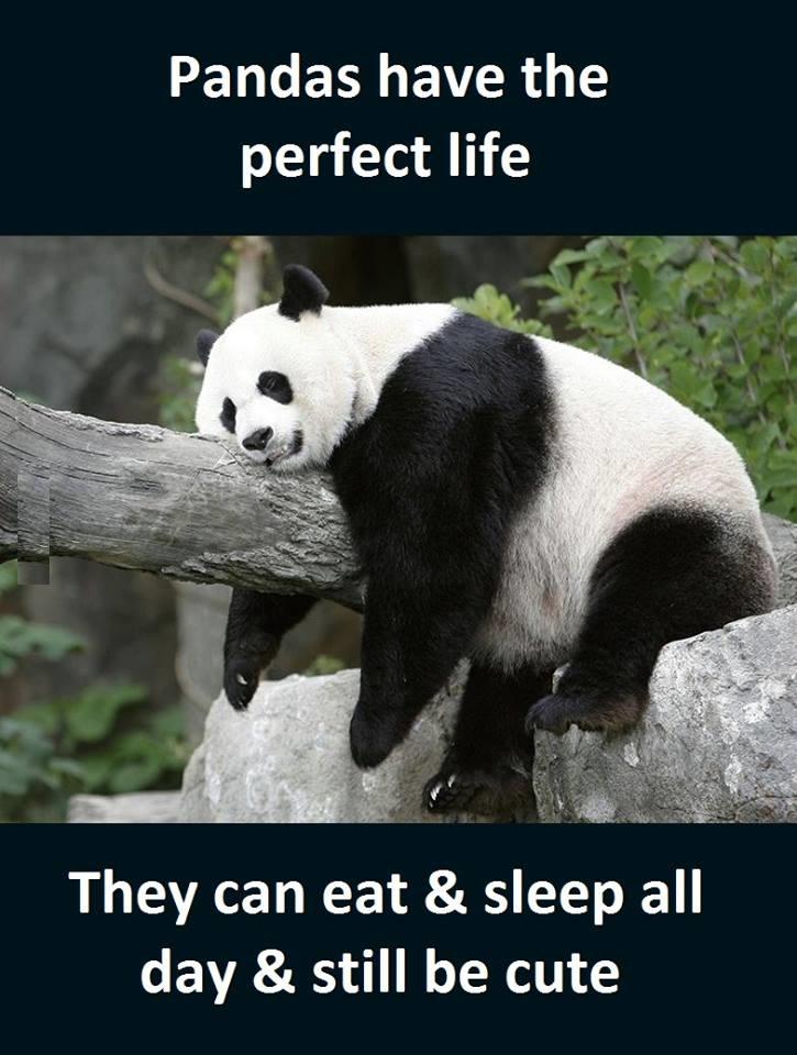 Panda jokes pandas funny quotes memes s voltagebd Choice Image